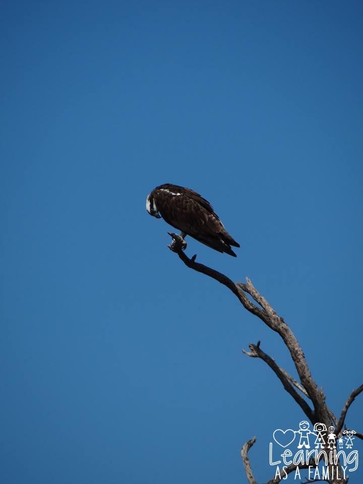 Osprey at Robinson Preserve
