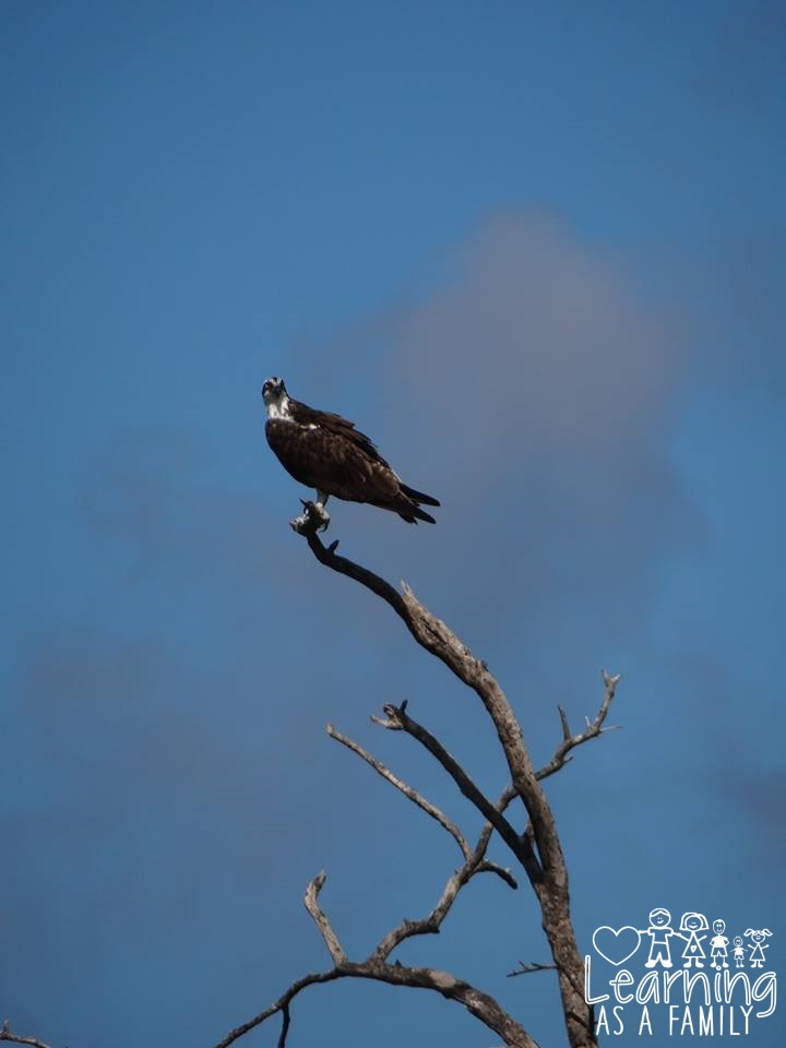 Osprey perching on a dead tree at Robinson Preserve
