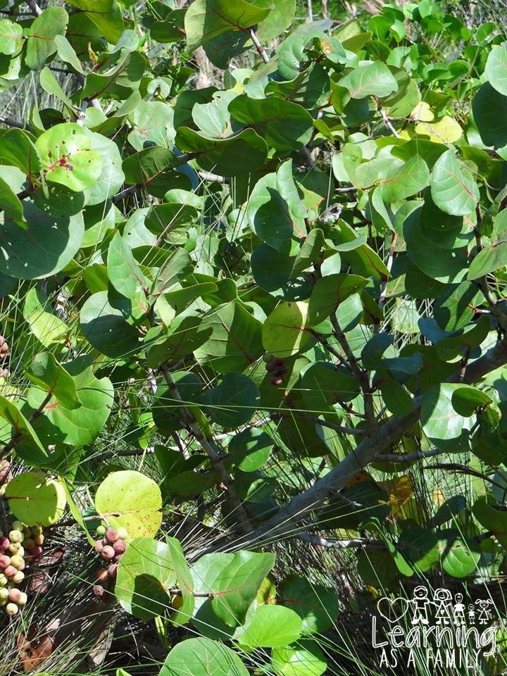 Sea Grapes at Robinson Preserve