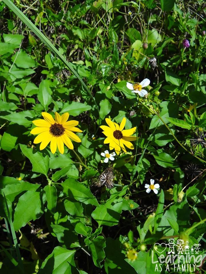 Sun Flowers in Robinson Preserve