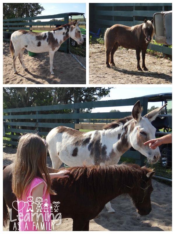 Petting Animals at Al-Marah Arabians Clermont, FL